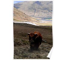 scottish coow, glen coe   Poster