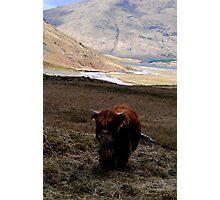 scottish coow, glen coe   Photographic Print