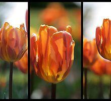 Tulips by Sue Tyler