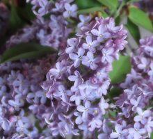 Lavender Lush by trueblvr