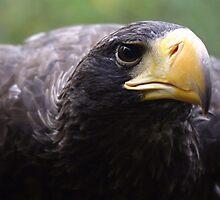 Wind beneath my wings - stella sea eagle by Sandra O'Connor