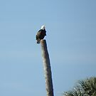 Treed Eagle by nobettertime