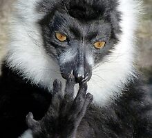 Thinking Black And White Ruffed Lemur by Margaret Saheed