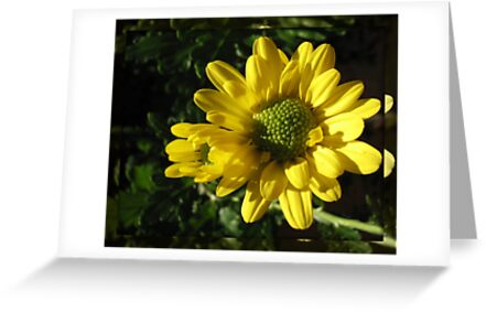 Sunlit Yellow Autumn Dahlias in Mirrored Frame by BlueMoonRose