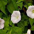 Sea Bindweed, Muckross Head, Donegal by George Row