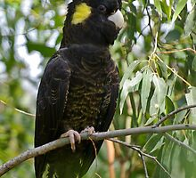 Yellow-tailed Black-Cockatoo  by TGrowden