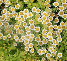 little patch of daisies by Rae Stanton
