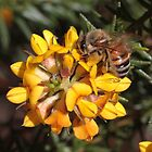 Sipping nectar by Daphne Gonzalvez
