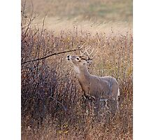 Marking Buck Photographic Print
