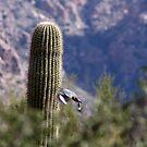 Gila Woodpecker by Bonnie Robert