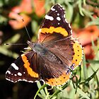 Red Admiral by Daphne Gonzalvez