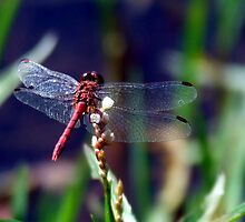 Resting Dragonfly by Paul Todd