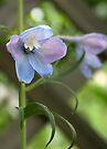 Delphinium Blue Beauty by coffeebean