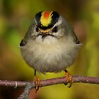 Golden Crowned Kinglet Close Up by John Absher