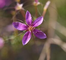 Purple Calytrix by kalaryder
