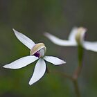 Hooded Caladenia by garts