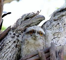 Tawny Frog Mouth Family by gillyisme53