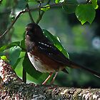 Rufous Sided Towhee by Brenda Boisvert