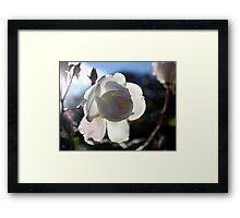 sunrise rose  Framed Print