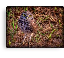 The Burrowing Owl - little fellow Canvas Print