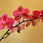 Delicate Orchids by Usha Ganesh