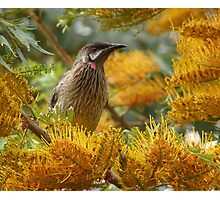 Australian Red Wattle Bird Photographic Print