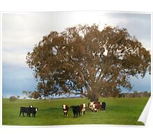 Where the white face cattle roam. Poster