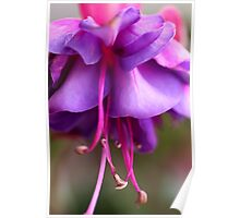 Fuschia Fun Poster