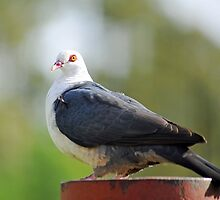 White Headed Pigeon In Our Garden. Brisbane, Queensland, Australia by Ralph de Zilva