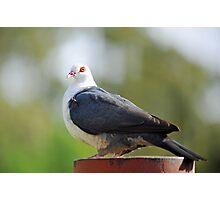 White Headed Pigeon In Our Garden. Brisbane, Queensland, Australia Photographic Print