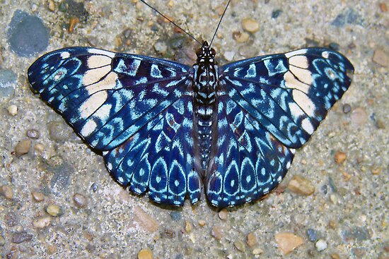 Cracker Butterfly Resting on the Ground  by Usha Ganesh