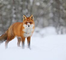 Snow nose by Remo Savisaar