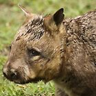 Hairy Nosed Wombat by Steve Bullock
