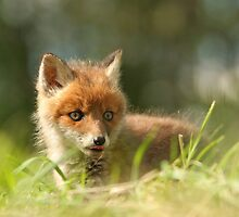 Virgin eyes, wild Red fox puppy by Remo Savisaar
