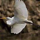 Great Egret by photodug