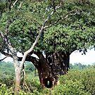 Boabob Tree by © Loree McComb