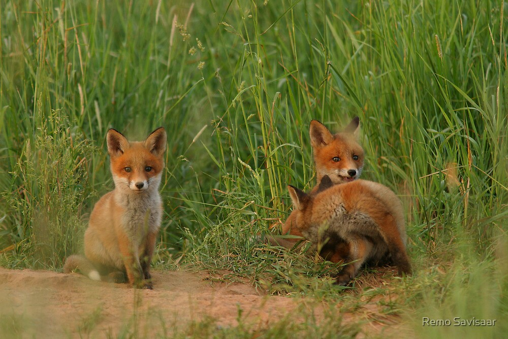 """""""Young red fox puppies"""" by Remo Savisaar 