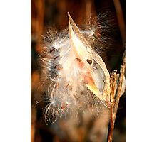 REDREAMING MILKWEED IN GOLD Photographic Print