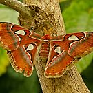 Atlas Moth by Robert Abraham