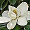 **Magnificent Magnolias - photography only**