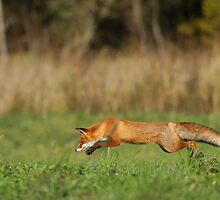 Concentration - Red fox is hunting voles! by Remo Savisaar