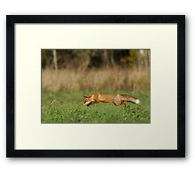 Concentration - Red fox is hunting voles! Framed Print