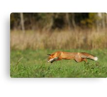 Concentration - Red fox is hunting voles! Canvas Print