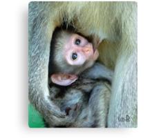 Vervet Monkey Canvas Print