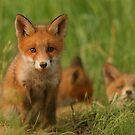 Red fox puppies by Remo Savisaar