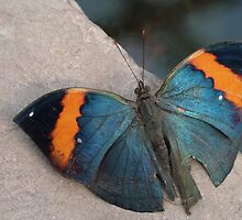 Butterfly by franceslewis