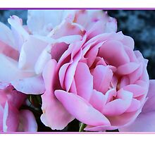 Pink Lady by sarnia2