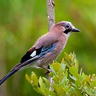 Jay by Peter Stone