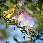Yellow-bellied Sunbird by SMCK