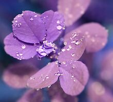 Violet dew by Caterpillar